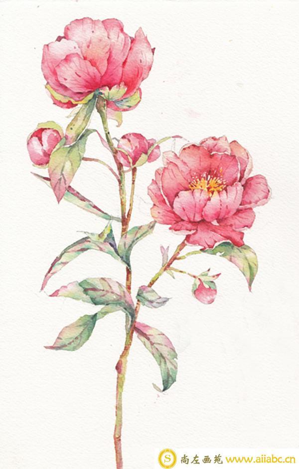 水彩牡丹花画法步骤